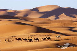 Camels in the dunes of Merzouga