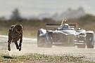 VIDEO: Ketika mobil Formula E beradu cepat dengan cheetah