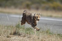 Een jachtluipaard