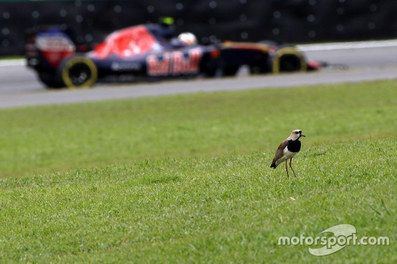 Карлос Сайнс-мл., Scuderia Toro Rosso STR11 и птица