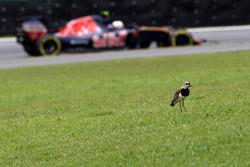Carlos Sainz Jr., Scuderia Toro Rosso STR11 passe devant un oiseau